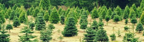 Christmas Tree Farms In and Around Lake County {2016}